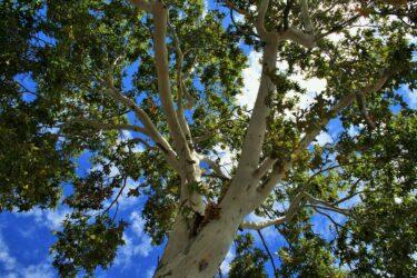 【花言葉は天才】哲学者の樹 – プラタナス